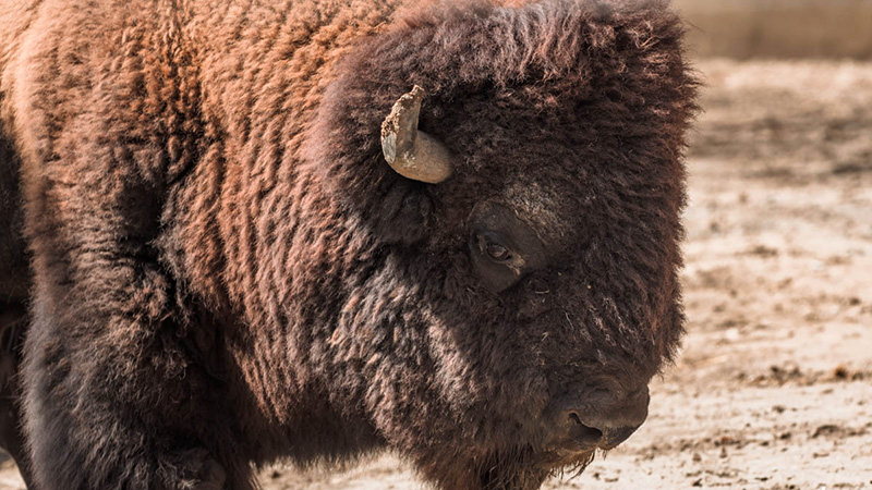 Our School adopted Brutus, the American bison